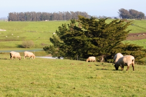 Stemple Creek Ranch sheep