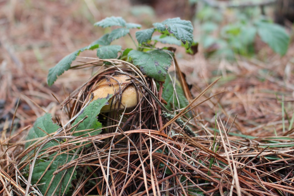 A King Bolete camoflaged on the forest floor     Photo by Karen Pavone