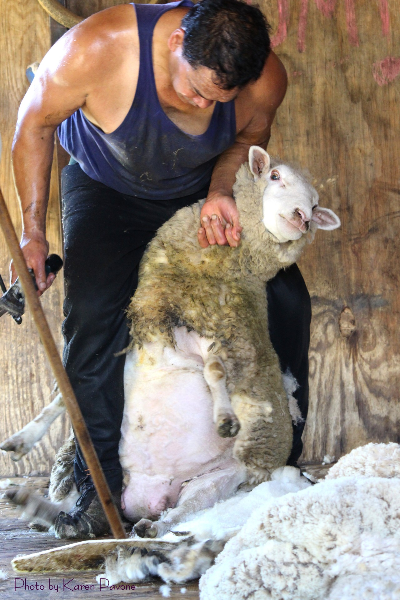 Shear Delight: A Day with a Sheep Shearer