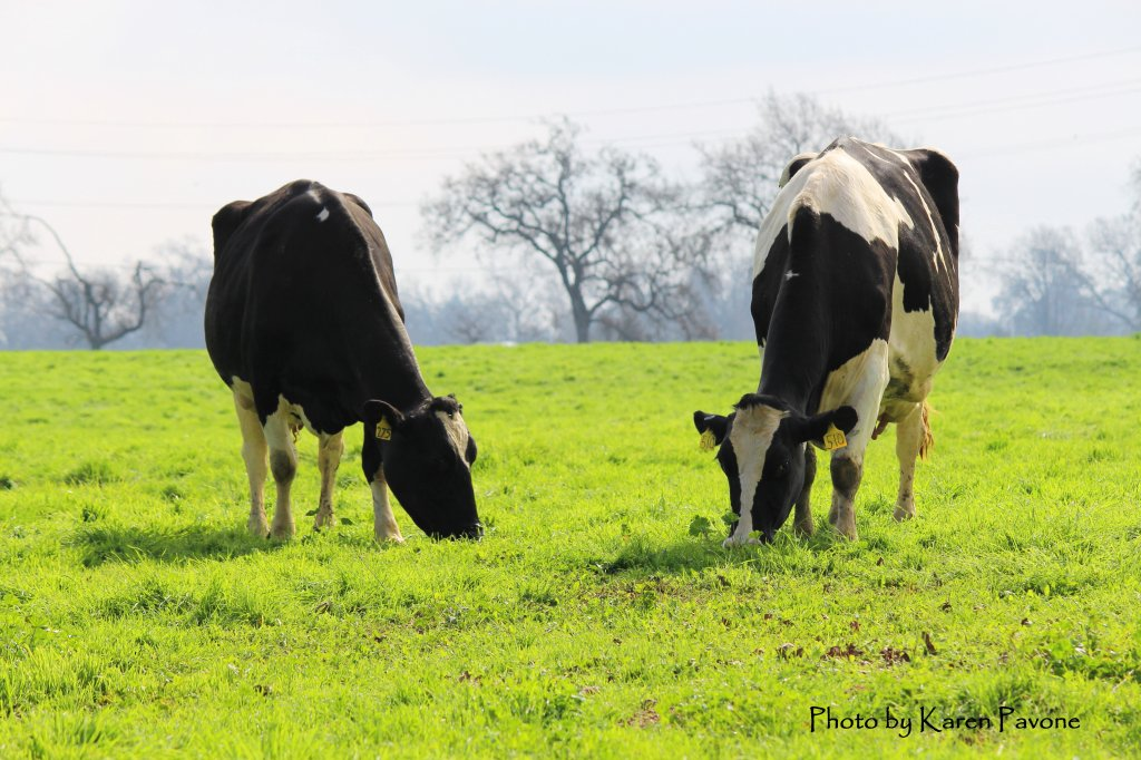 Clover cows grazing at partner Pinheiro Dairy